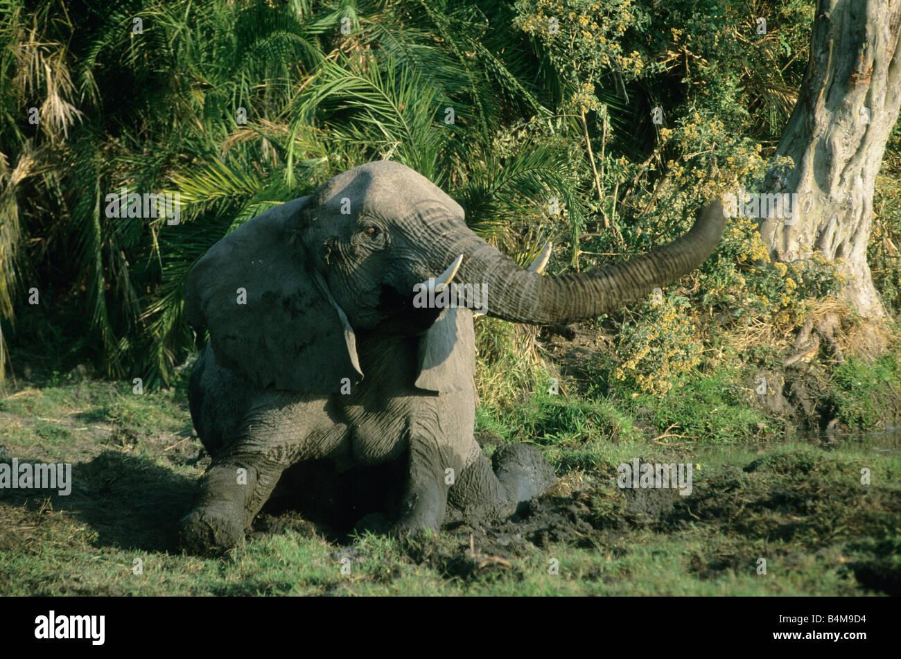Afrikanischer Elefant (Loxodonta Africana) Schmutz Baden, Okavango Delta, Botswana Stockbild