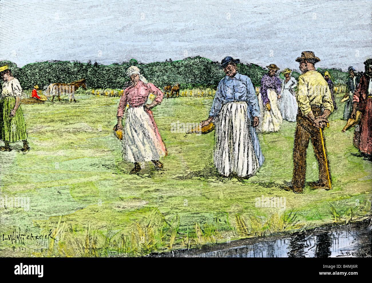 Pflanzen Reis auf einem Nord-carolina Plantage 1800. Hand - farbige Holzschnitt Stockbild