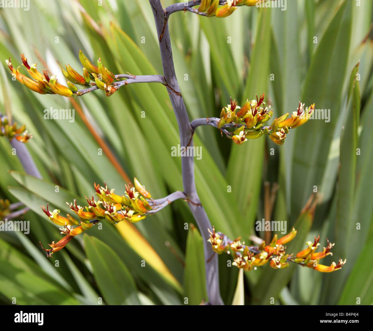 Berg-Flachs, Phormium Cookianum Hemerocallidaceae New Zealand Stockfoto