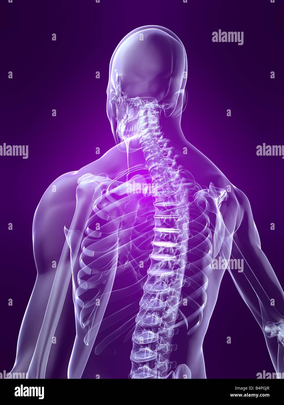 Skelett zurück Stockbild