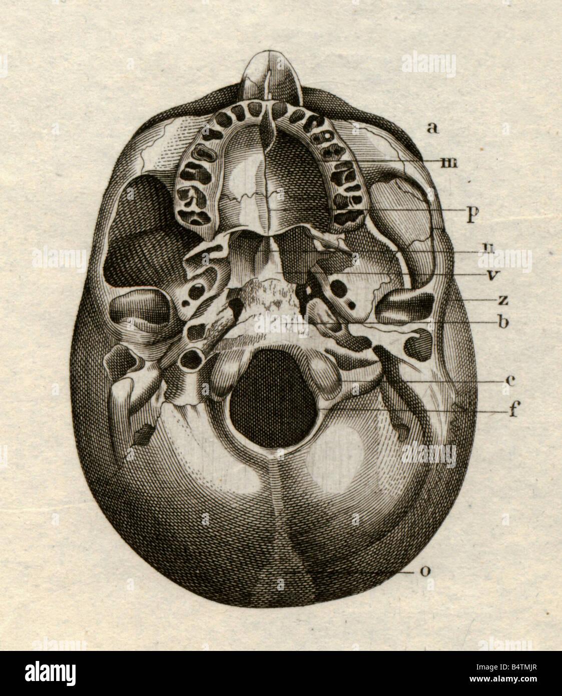 Medizin, Anatomie Skelett / Knochen, Schädel, von unten, Stahlstich ...