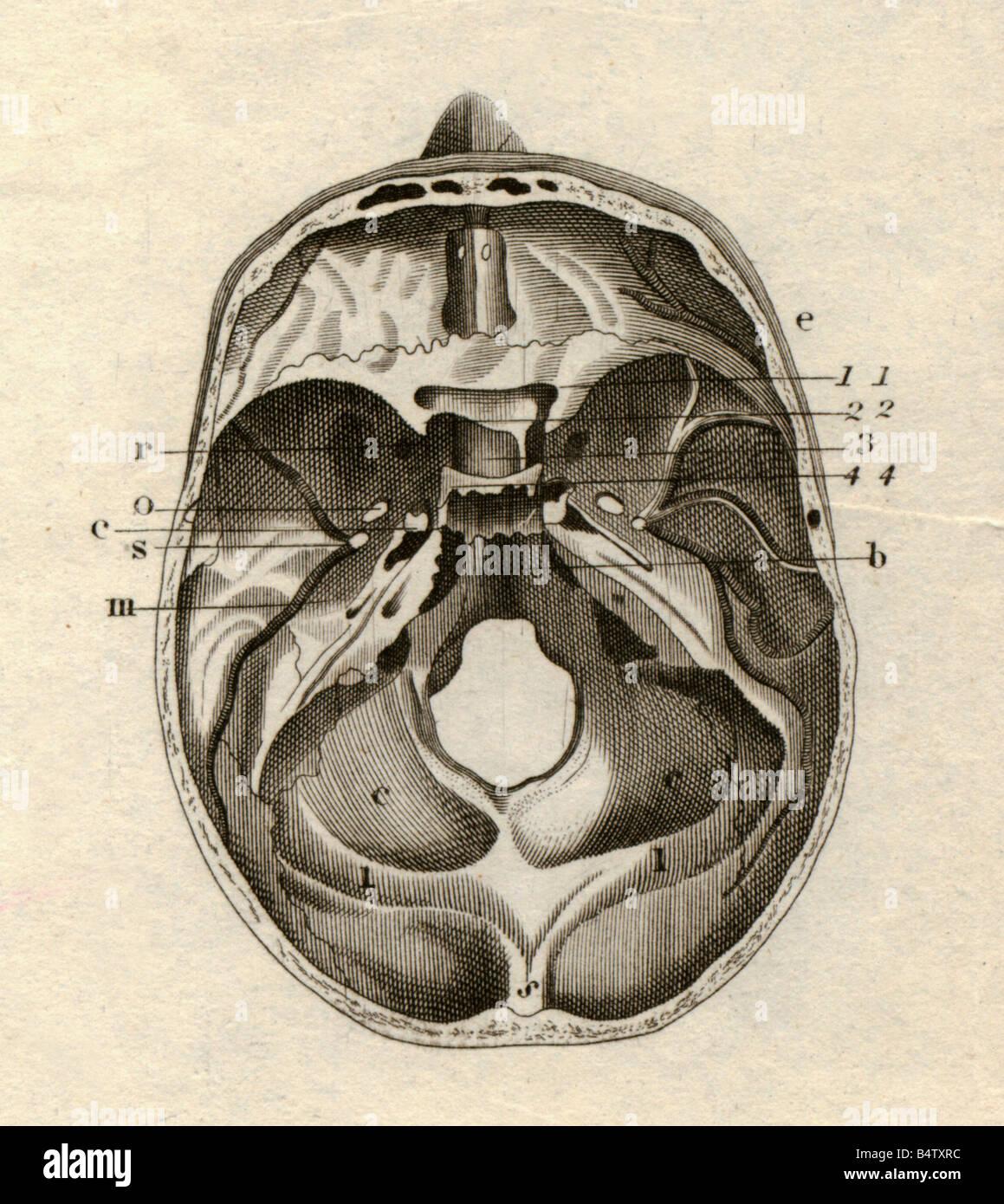 Medizin, Anatomie Skelett / Knochen, Schädel, Querschnitt, von oben ...