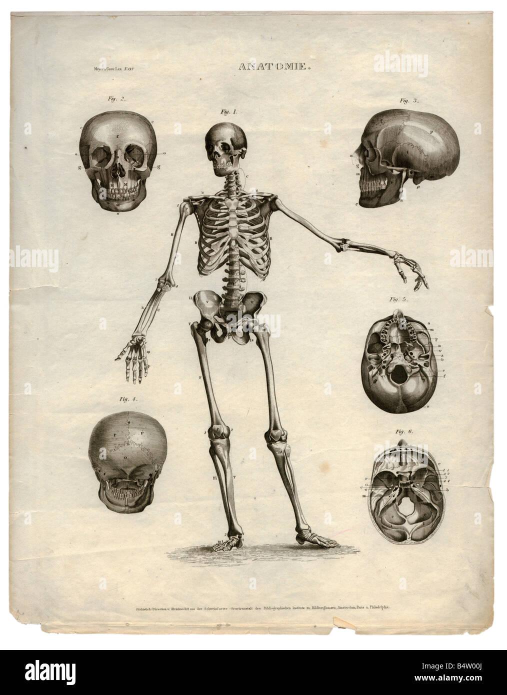 Medizin, Anatomie, Skelett / Knochen, \