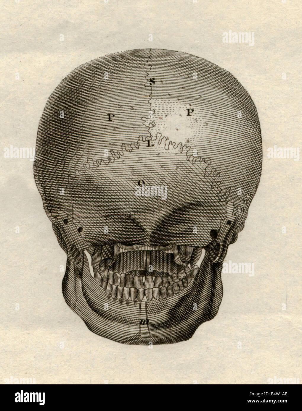 Medizin, Anatomie Skelett / Knochen, Schädel, Blick nach hinten ...
