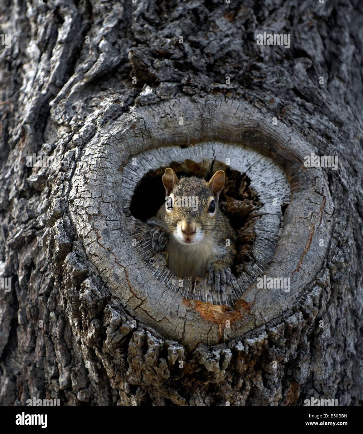 graue eichh rnchen in einem hohlen baum nest stockfoto bild 20292601 alamy. Black Bedroom Furniture Sets. Home Design Ideas