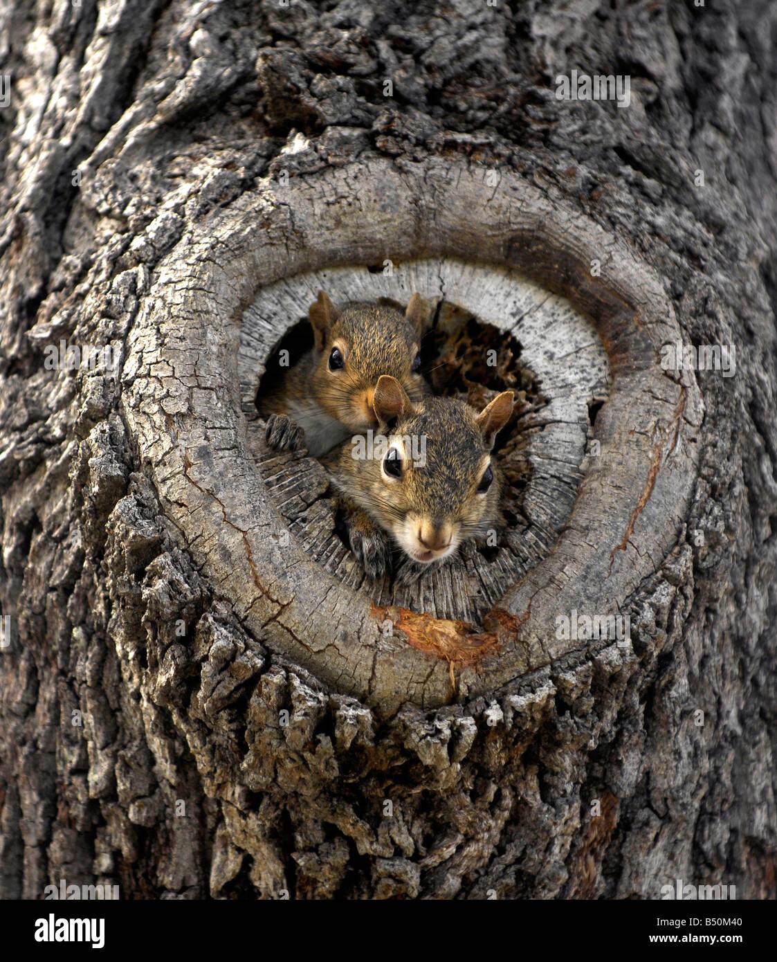 squirrel nest stockfotos squirrel nest bilder alamy. Black Bedroom Furniture Sets. Home Design Ideas