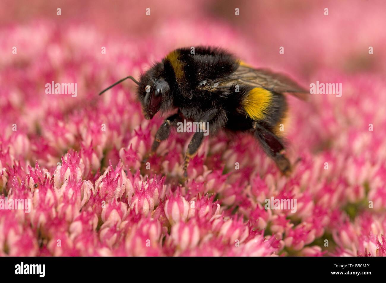 Bumblebee aufwachen verbrachte Nacht Ende September auf Eis Pflanze Sedum spectabile Stockbild