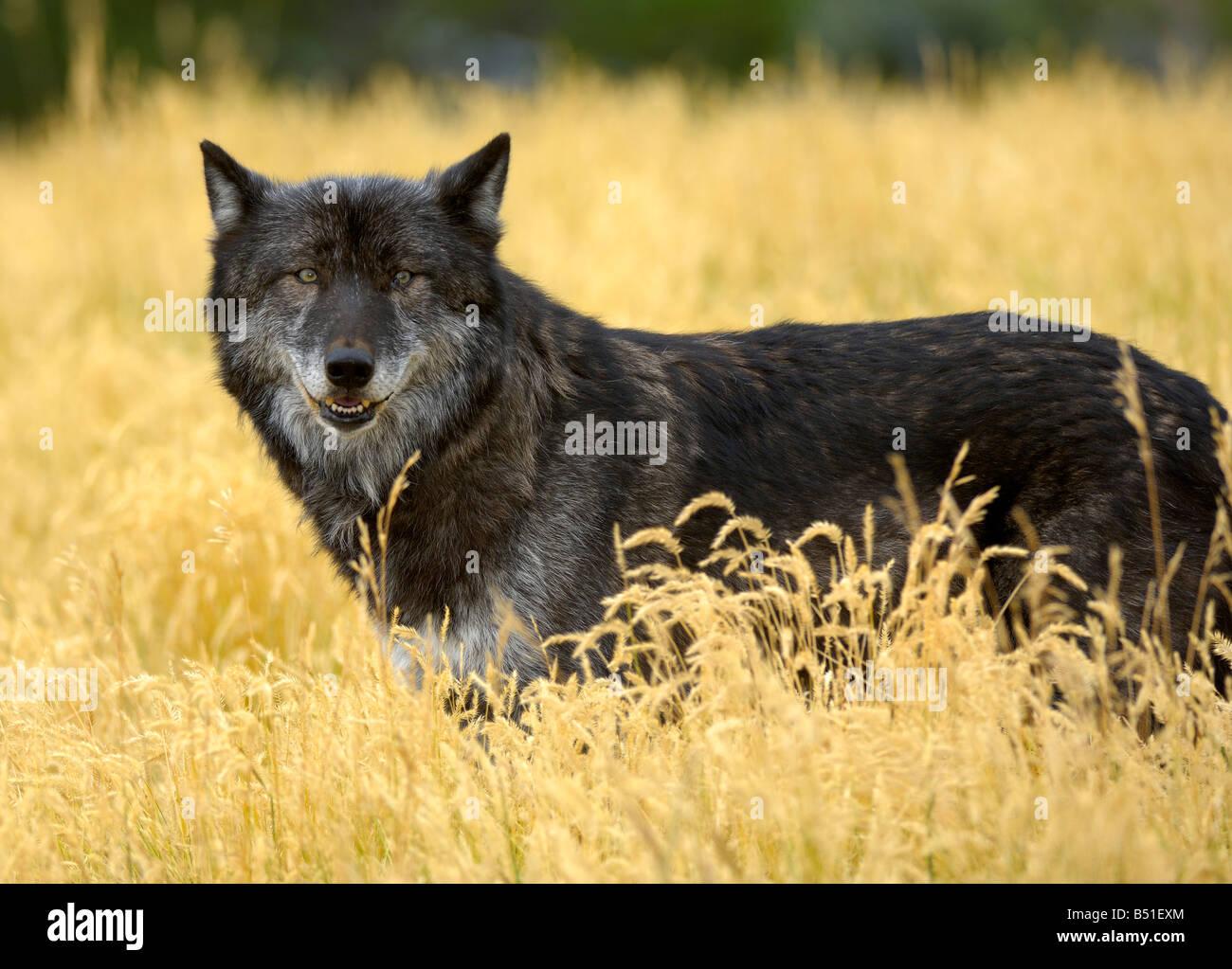 Grey Wolf, Canis lupus Stockbild