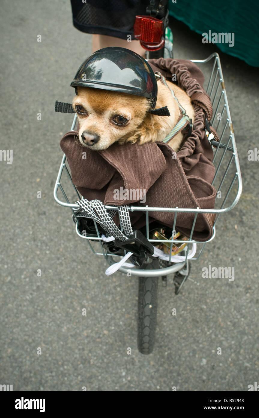 kleine Chihuahua w Helm Reiten in Fahrrad-Drahtkorb Stockbild