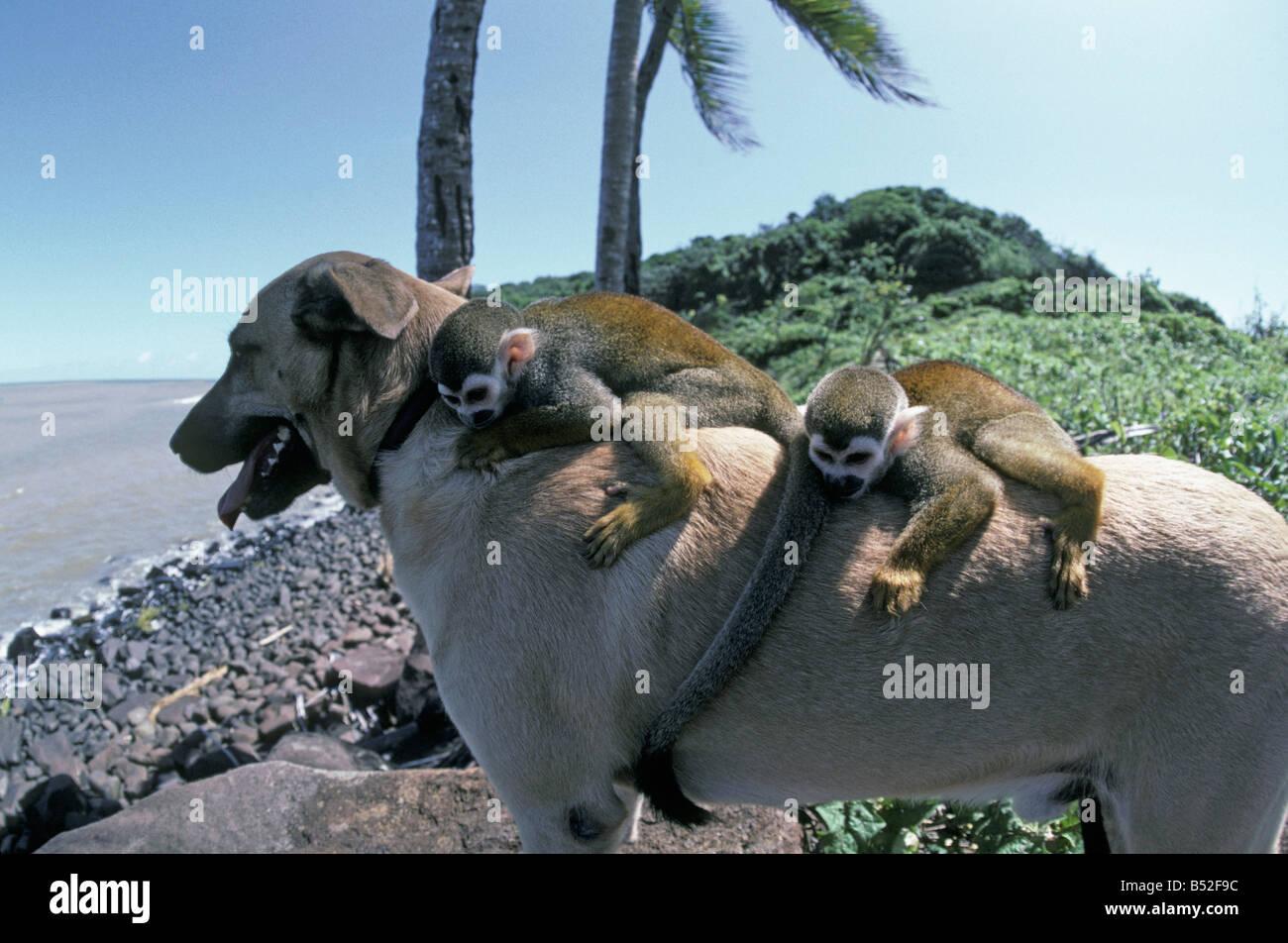 Amities Entre un Chien et Deux Saimiri Guyane française Freundschaften zwischen einem Hund und zwei Saimiri Stockbild