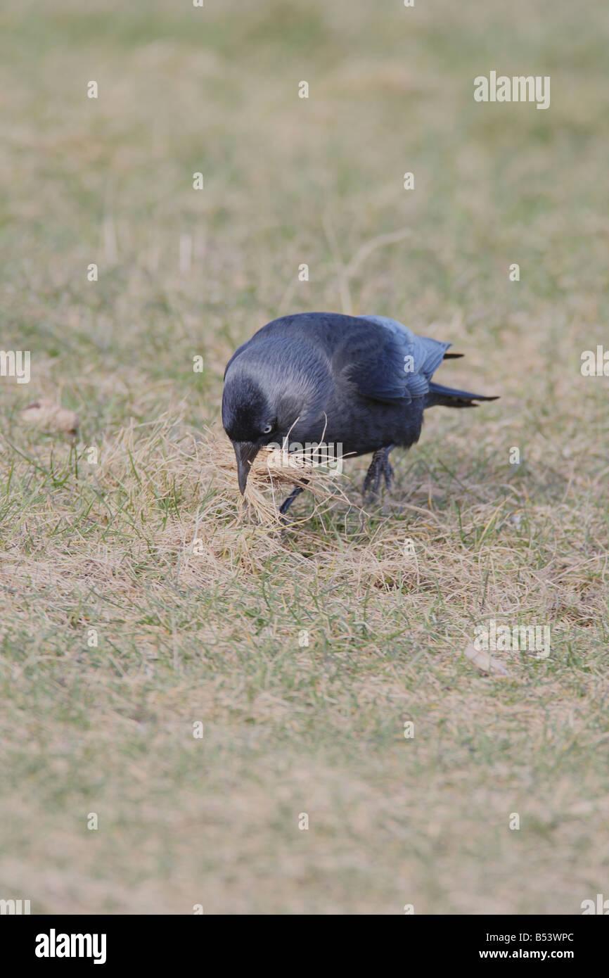 DOHLE Corvus Monedula sammeln NEST MATERIAL FRONT Ansicht Stockbild