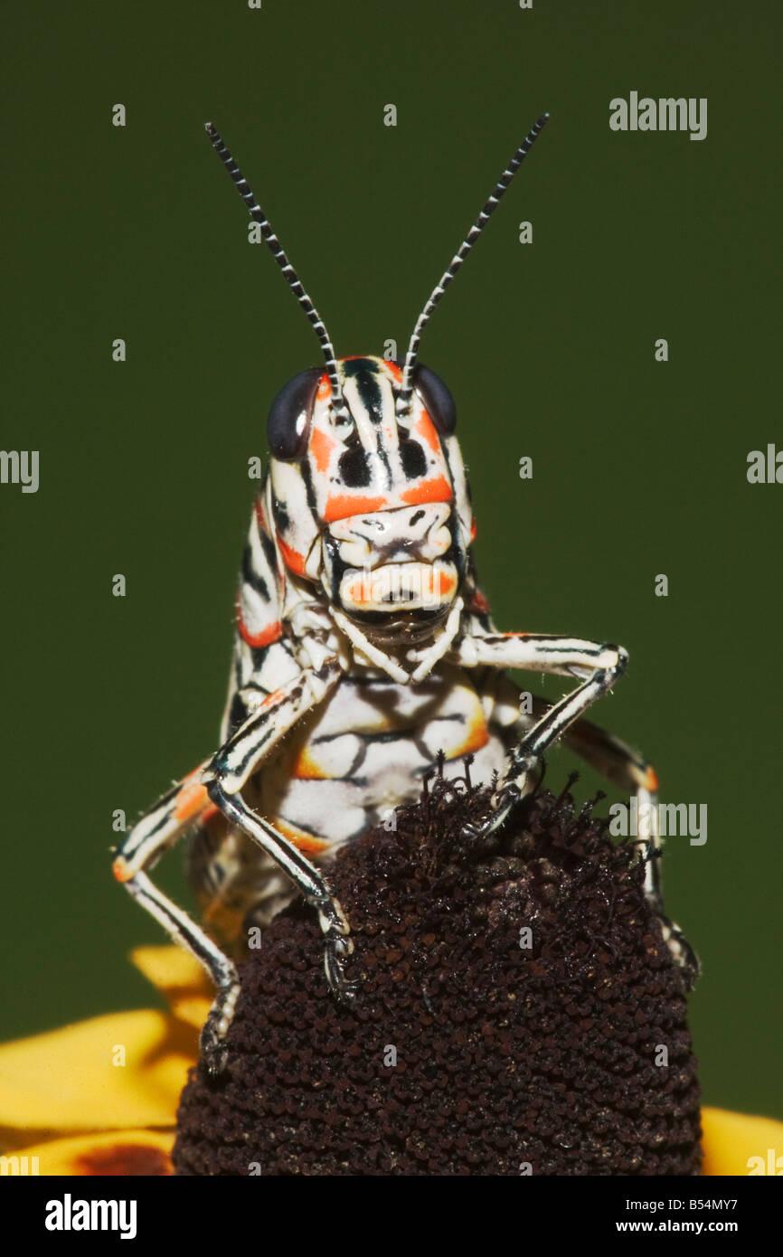 Lackierte Grasshopper Dactylotum bicolor Erwachsene auf Clasping Endivie Sonnenhut Sinton Fronleichnam Coastal Bend Stockbild