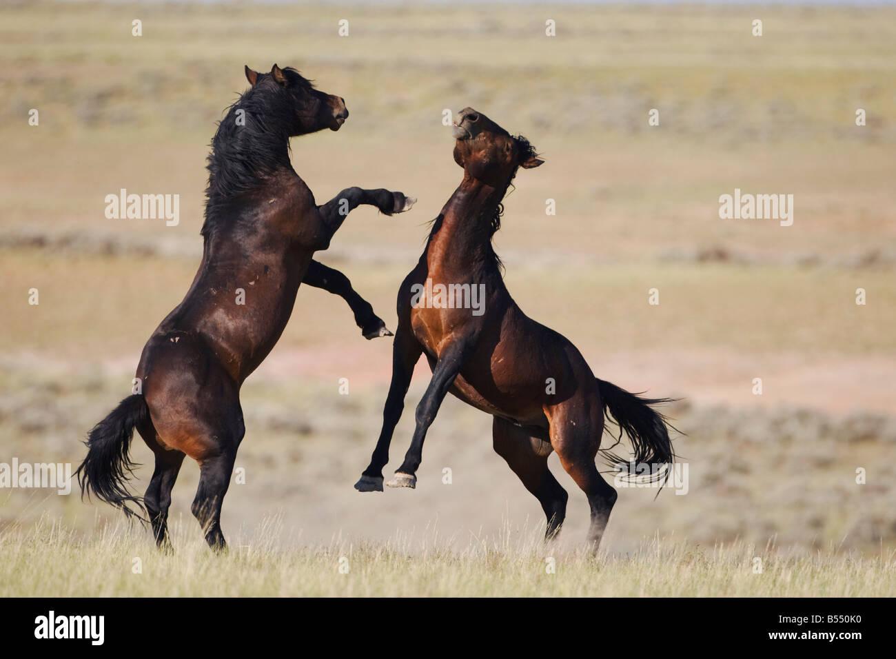 Mustang Pferd Equus Caballus Hengste kämpfen Pryor Wild Horse Bergkette Montana USA Stockbild