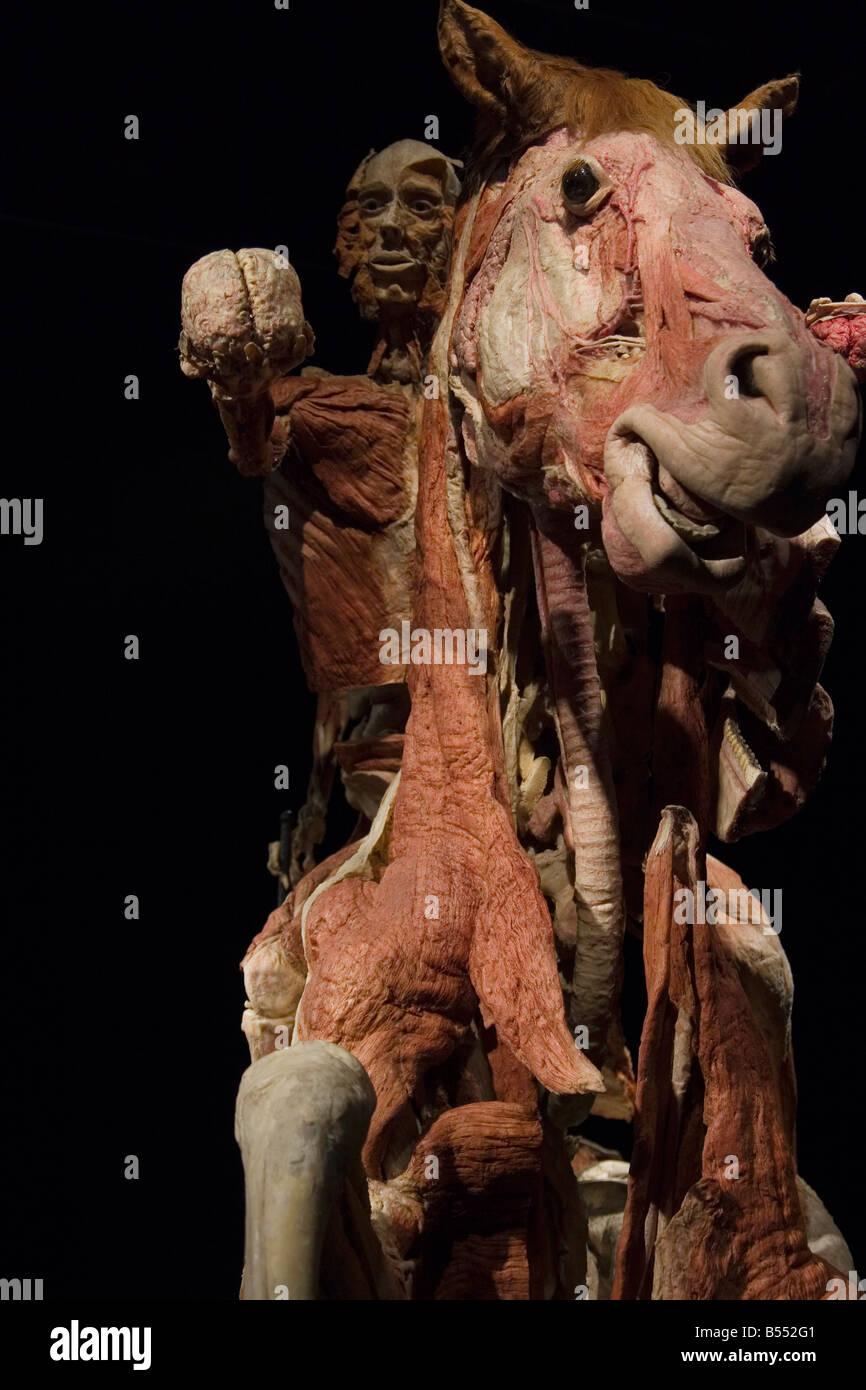 Gunther von Hagens anatomische Ausstellung Stockfoto, Bild: 20395425 ...
