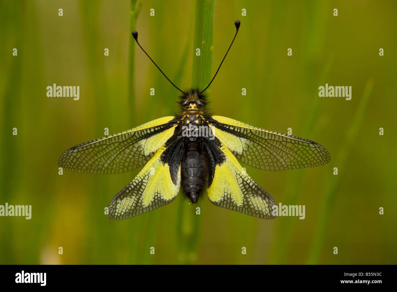 Ein Ascalaphid (Libelloides Coccajus) ließ sich in Grünland, Nahaufnahme, Dordogne, Frankreich Stockbild