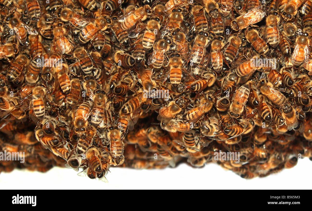 USA-Biene Name für fliegende Insekten von der Überfamilie Apoidea diese Bienen aufgenommen wurden, da Stockbild