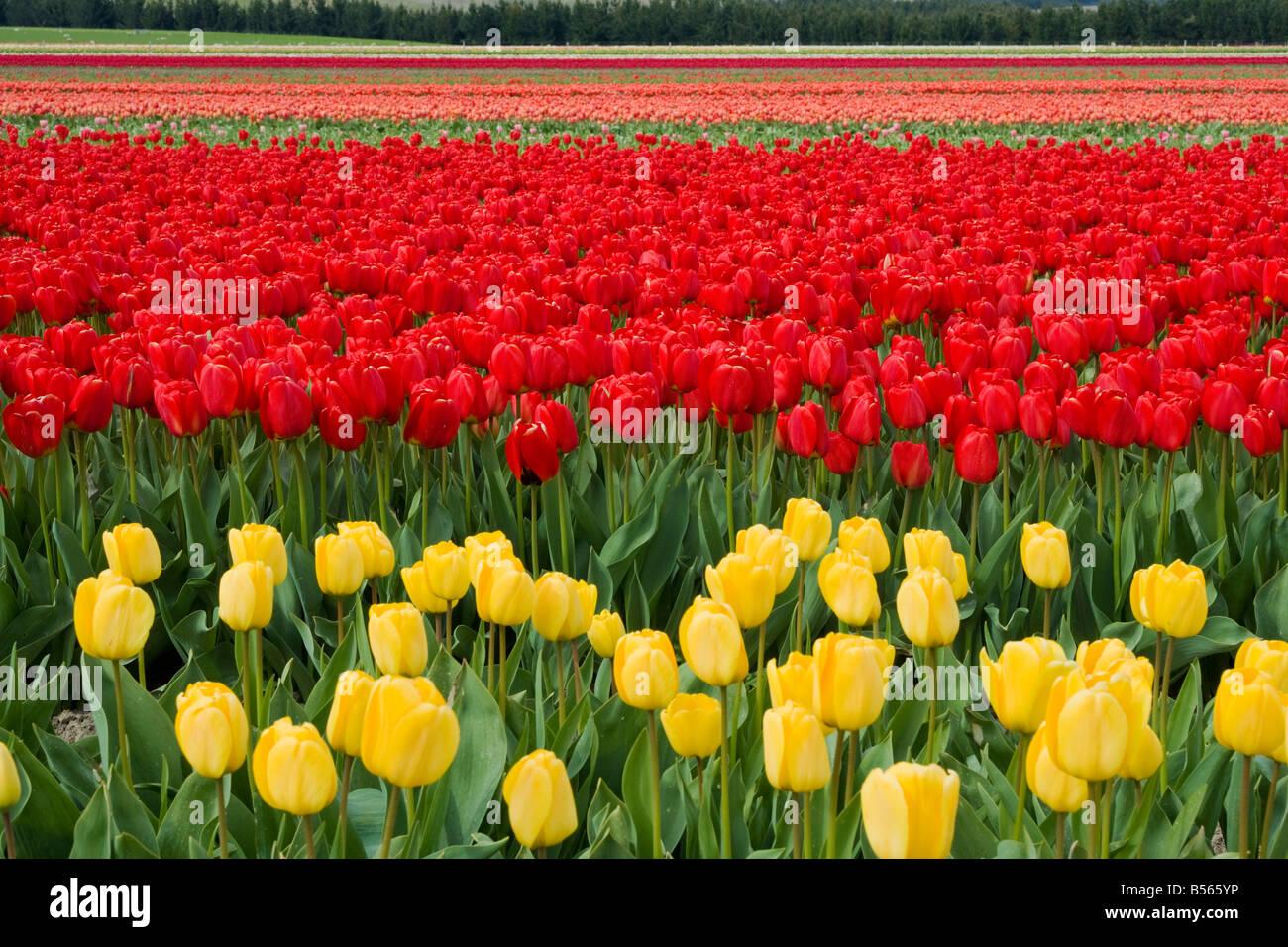 Einen schönen Bereich der Tulpen Stockbild