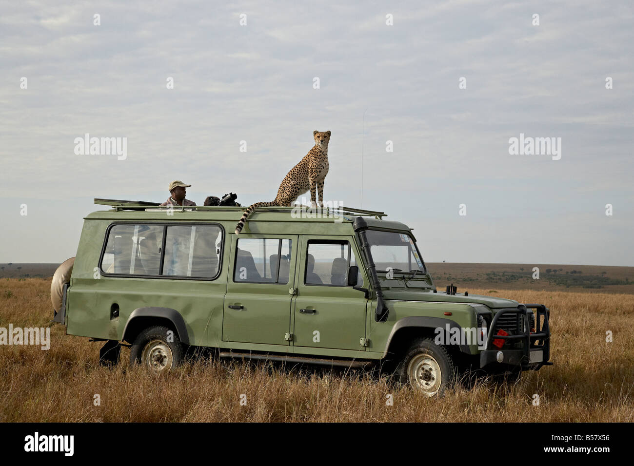 Gepard (Acinonyx Jubatus) auf Land Rover Safari Fahrzeug, Masai Mara National Reserve, Kenia, Ostafrika, Afrika Stockfoto