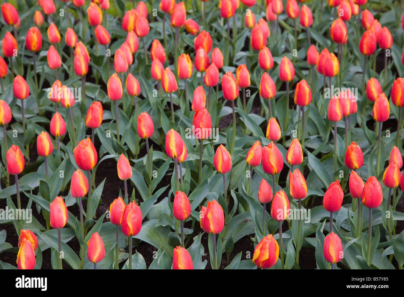 tulips park in amsterdam netherlands stockfotos tulips. Black Bedroom Furniture Sets. Home Design Ideas