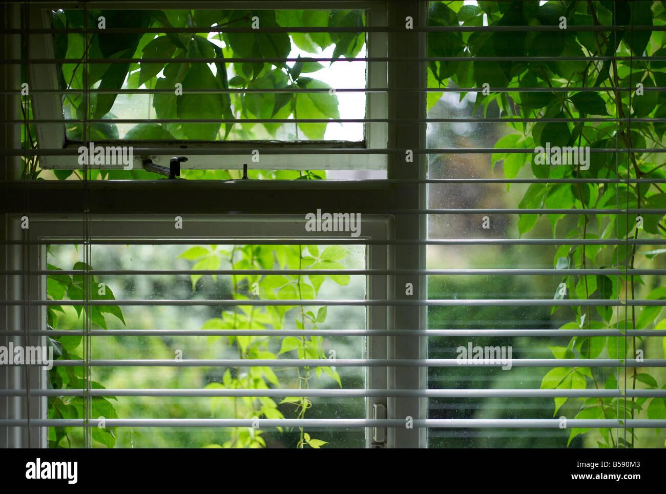 Horizontal-Jalousien auf ein Fenster, das auf der Außenseite von Efeu Blättern bedeckt ist Stockbild