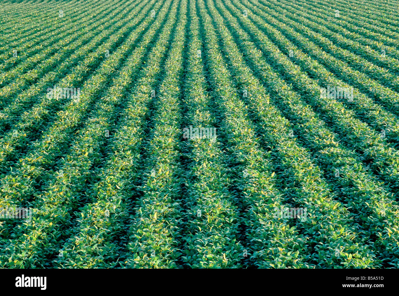 Roundup Ready Soja Feld. Stockbild