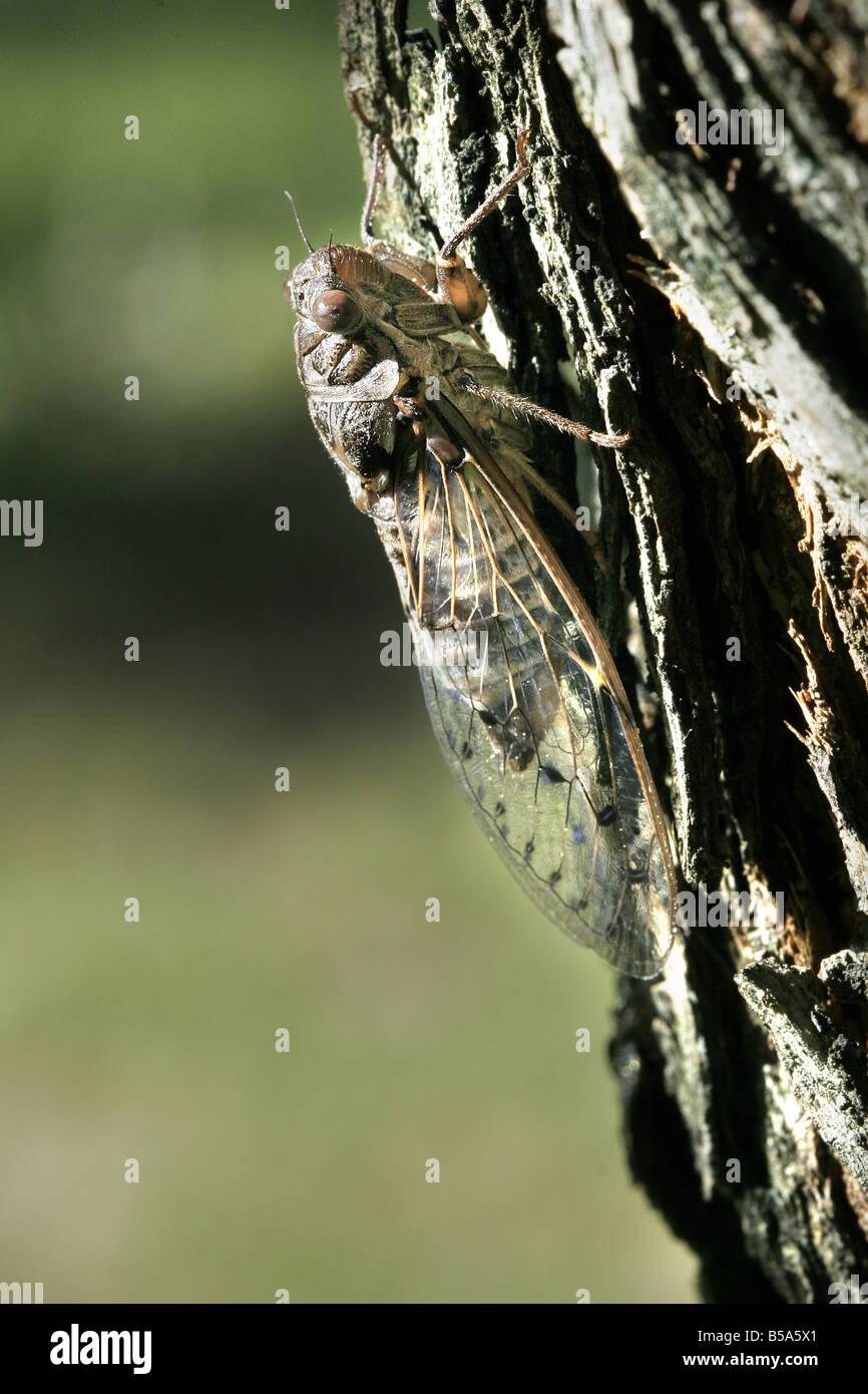 Zikade (Cicada Orni) auf Rinde der Esche Stockbild