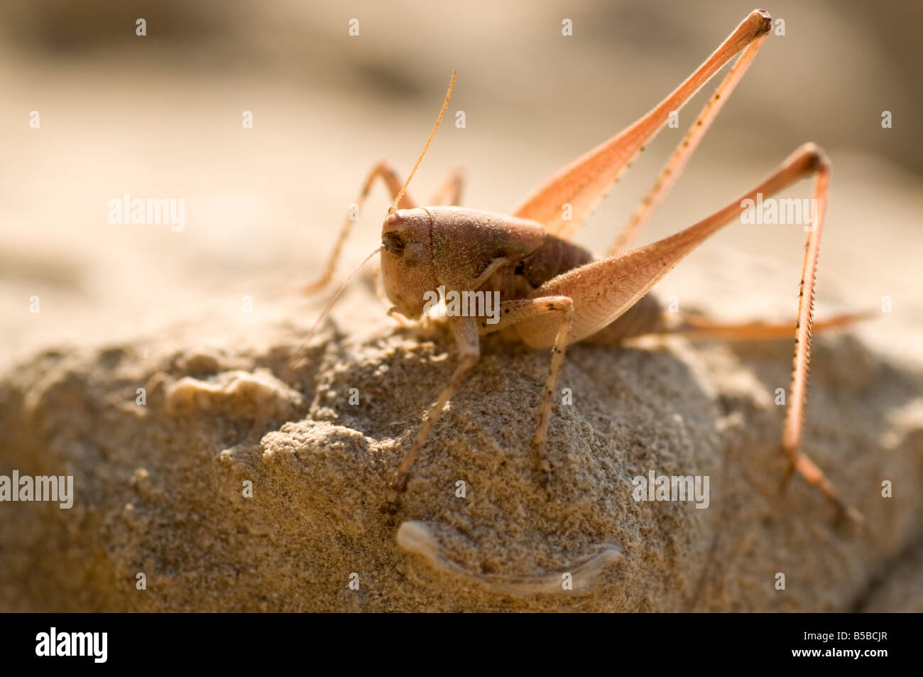 Große grüne Bush Cricket (Tettigonia Viridissima) fand in sand Stockbild