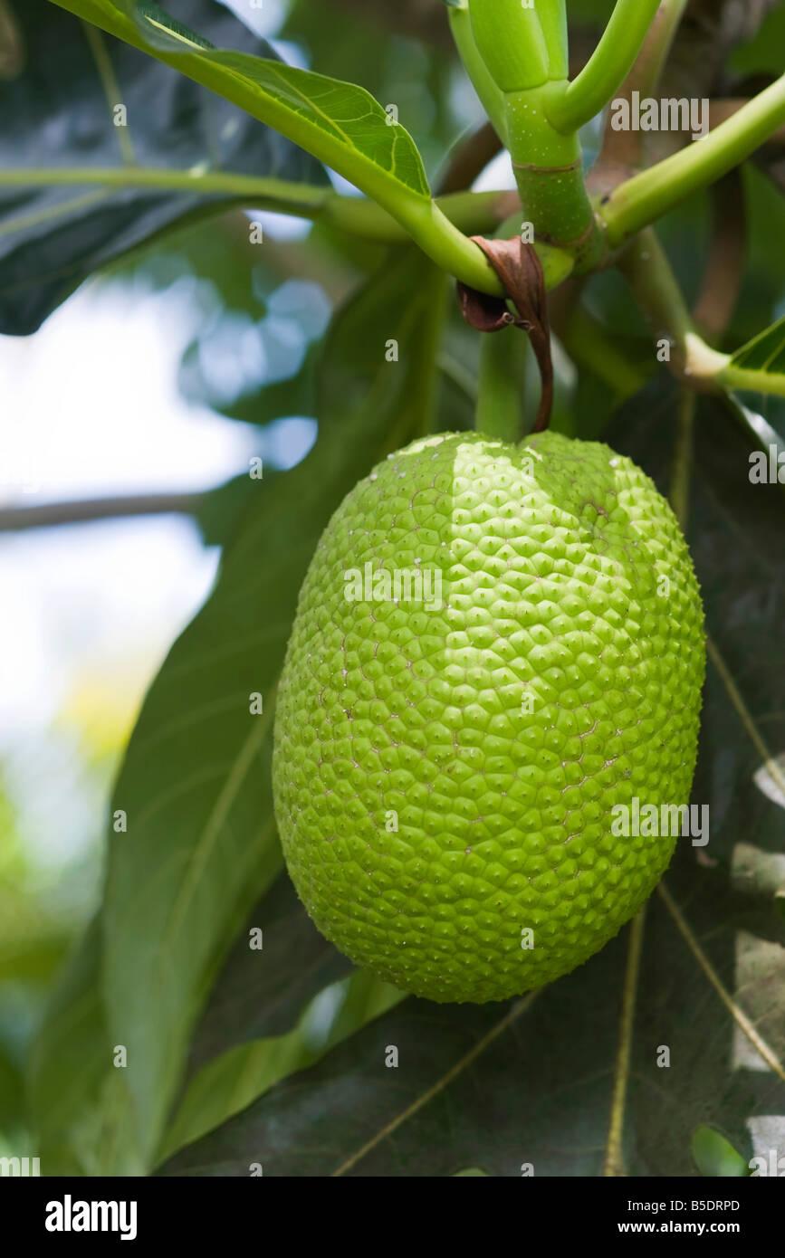 Brotfrucht hängen von Baum, Nahaufnahme Stockbild