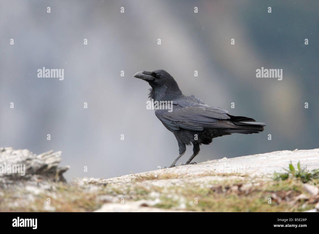 Raven Sie-Corvus Corax Spanien winter Stockbild