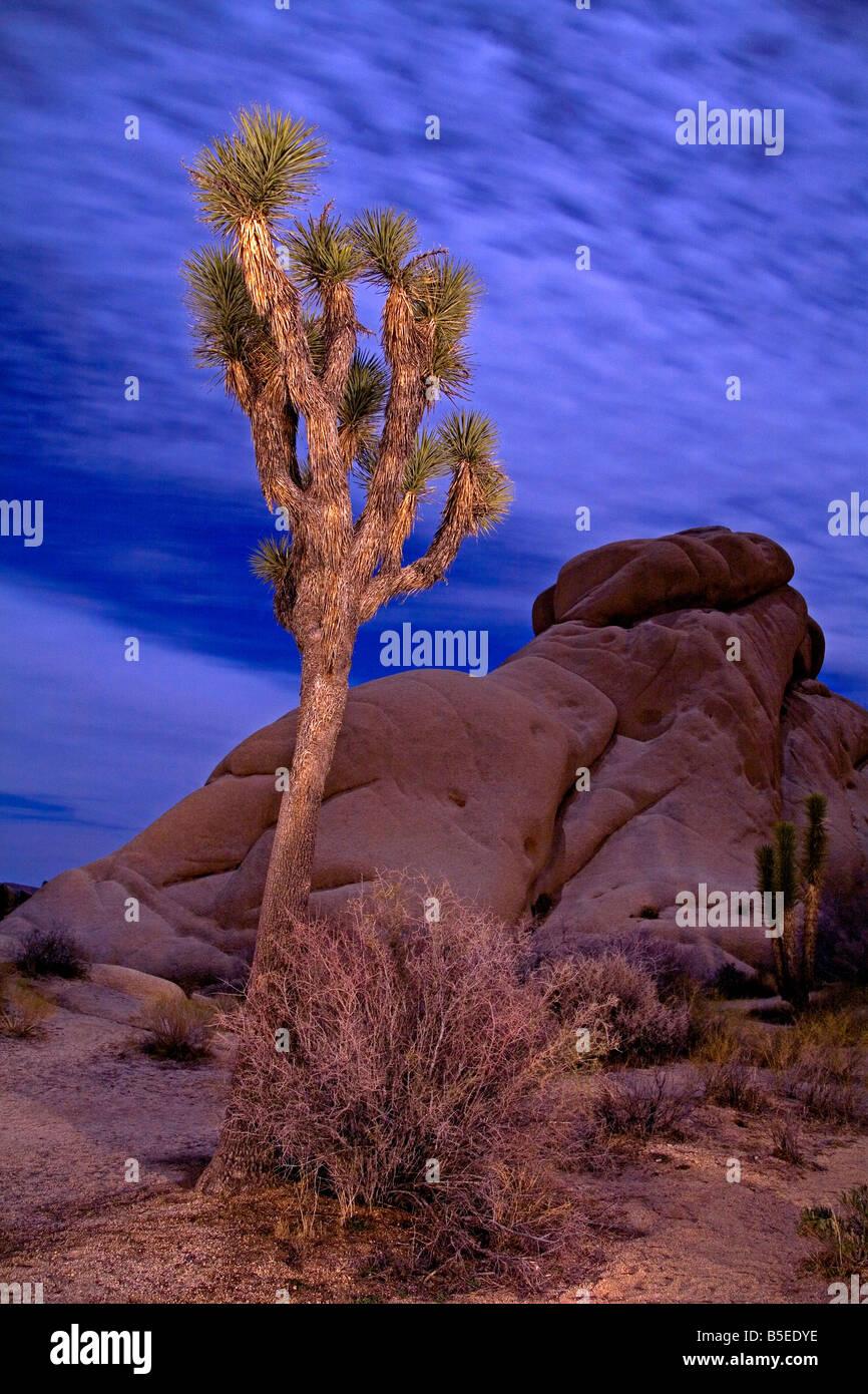 Licht Malerei von Joshua Tree unter Vollmond, Jumbo Rocks Gegend, Joshua Tree Nationalpark, Kalifornien, USA, Nordamerika Stockfoto