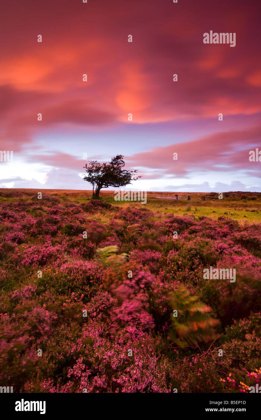 Spektakuläre Farben am Himmel und auf der Heide am Dunkery Hill in Exmoor Nationalpark Somerset England Stockbild
