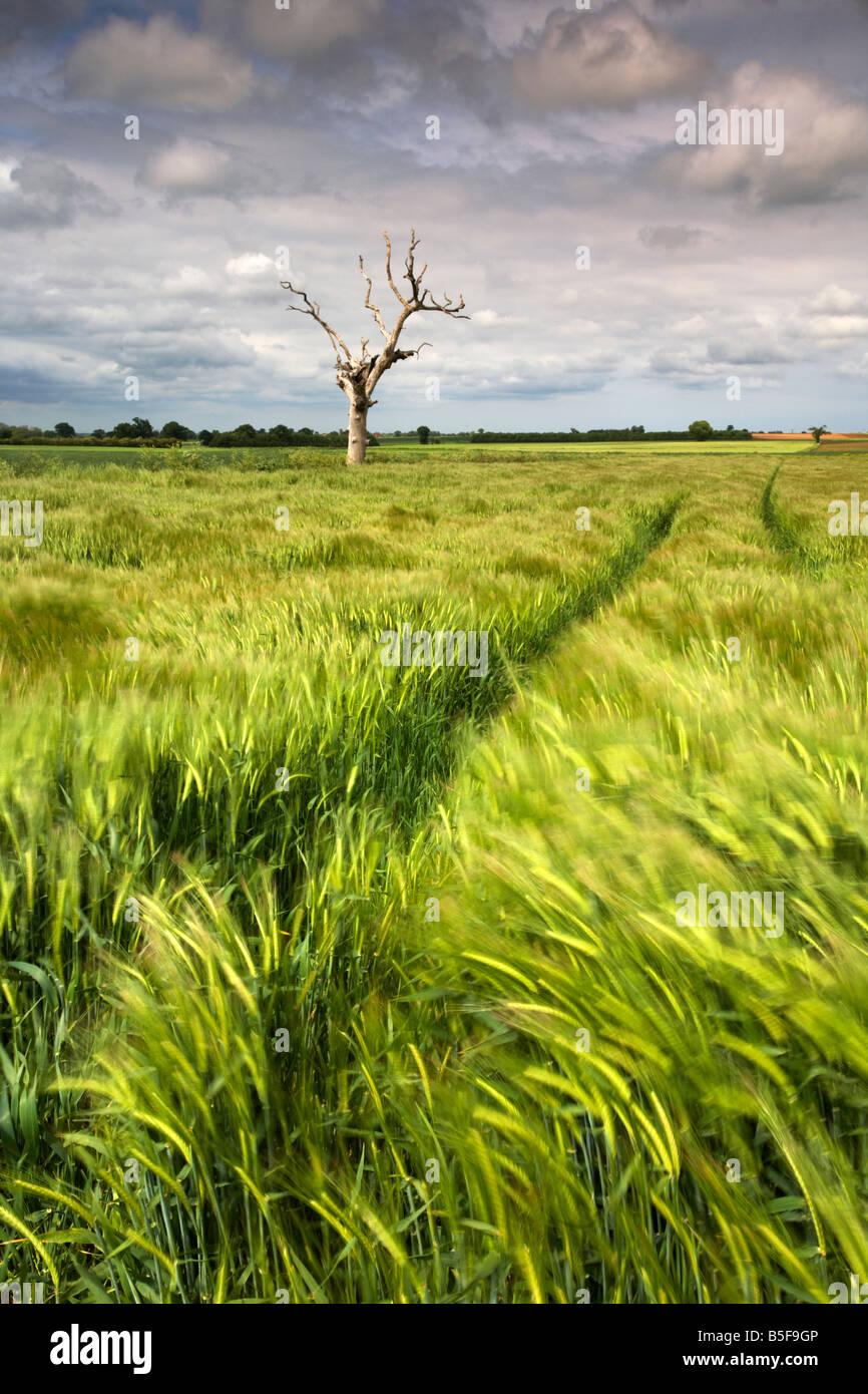Toter Baum und ein Feld der Gerste während eines Sturms in der Norfolk-Landschaft fotografiert Stockbild