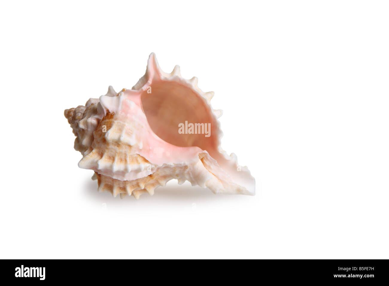 Shell-Ausschnitt auf weißem Hintergrund Stockbild