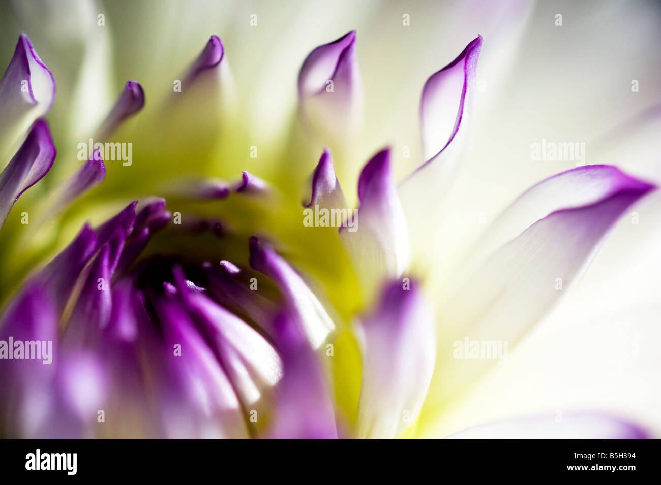 Nahaufnahme einer lila und weißen Blume Dahlie Stockbild