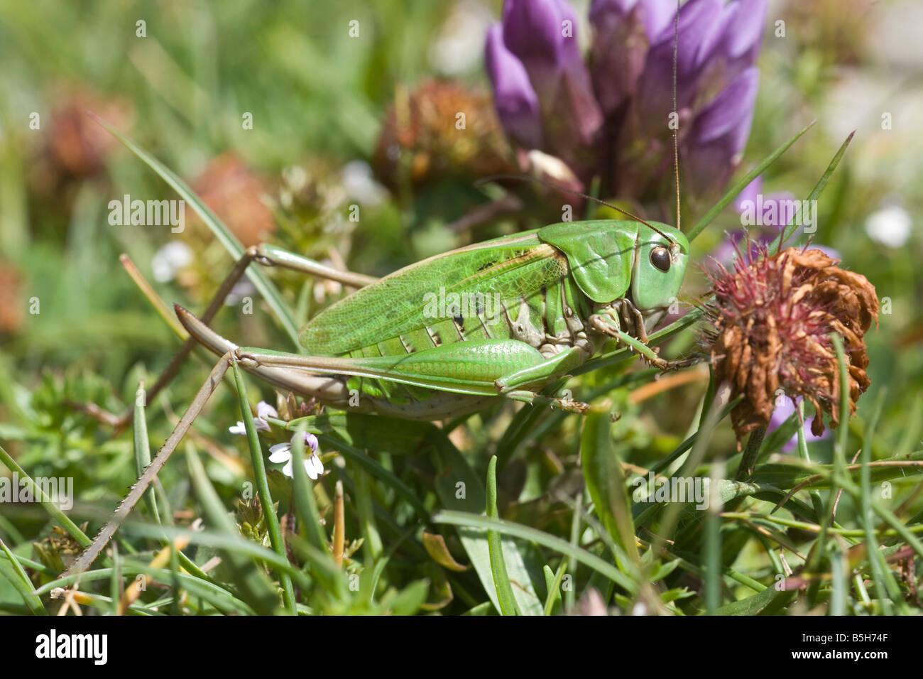 Bush-Cricket (Tettigoniidae) Stockbild