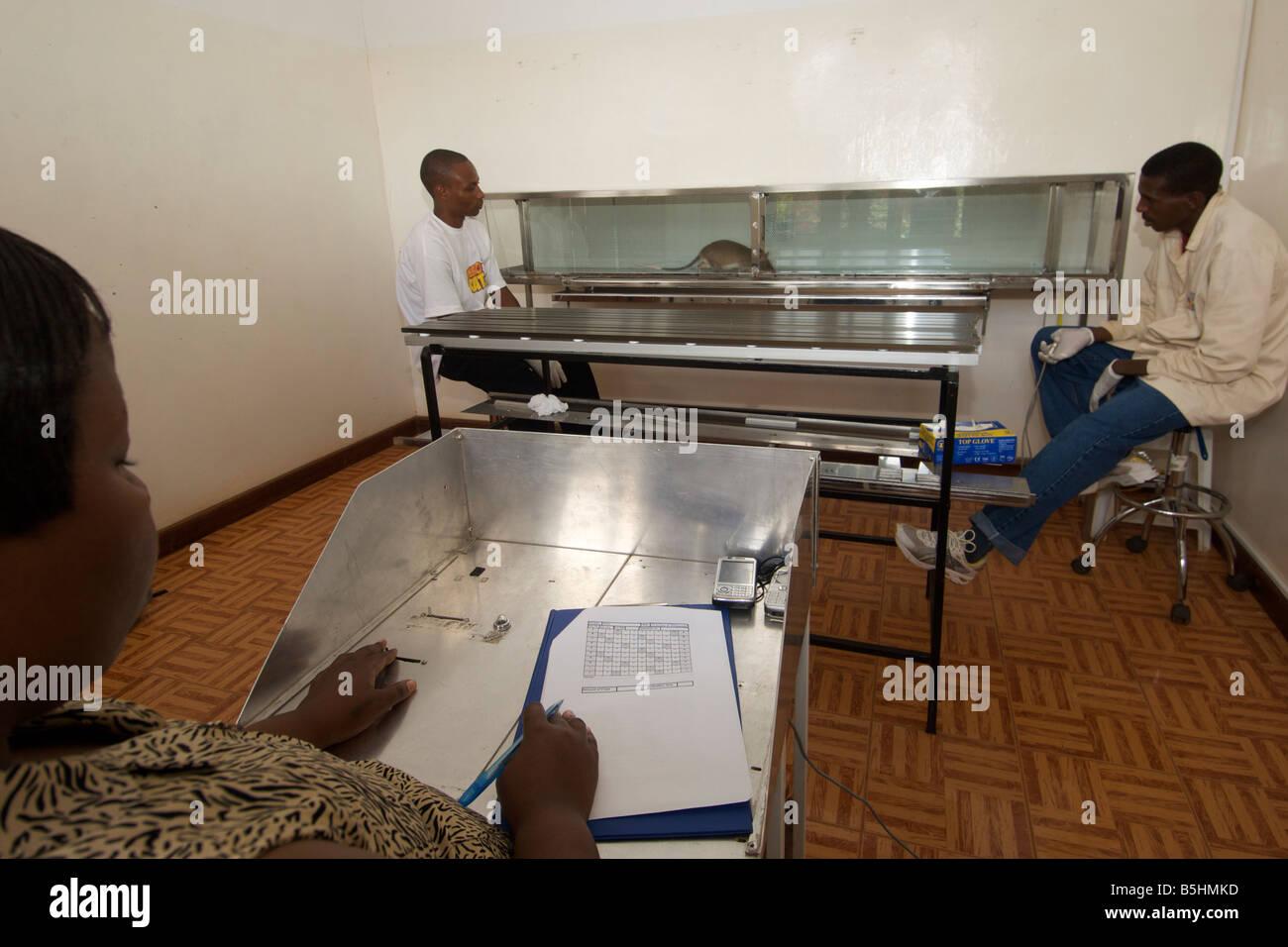 Labor-Ausbildung von Held Ratten von APOPO Organisation, TNT in Blindgänger zu erkennen. Stockbild
