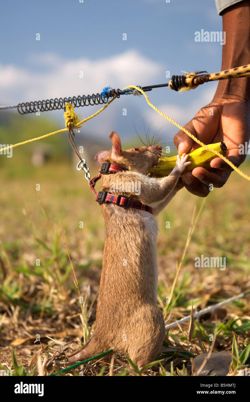 """Held Ratte"" belohnt Wth Banane an der APOPO Ausbildungsbasis in Morogoro, Tansania. Stockbild"