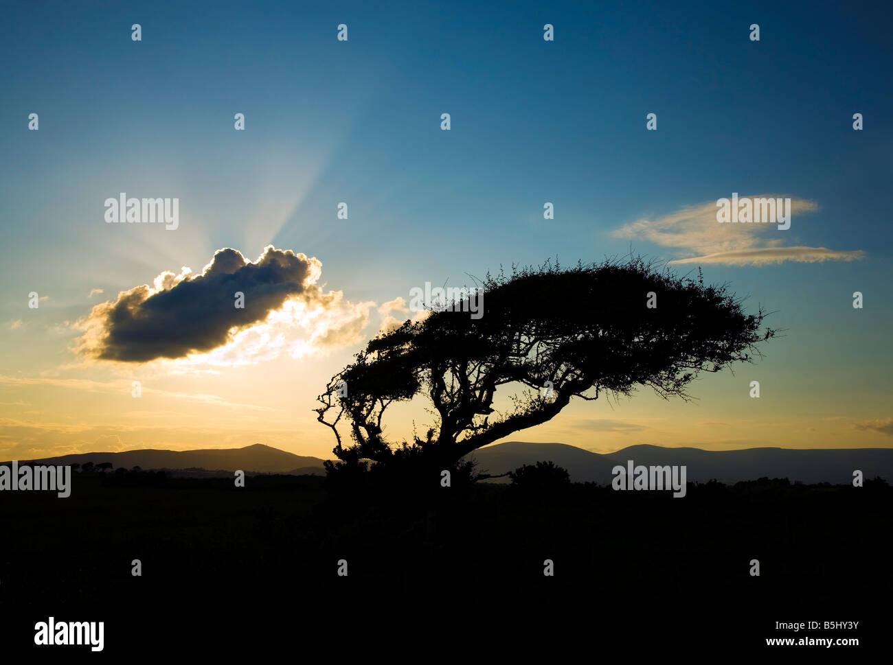 Wind-geschnitzte Baum über Stradbally Cove und fernen Comeragh Mountains, Grafschaft Waterford, Irland Stockbild