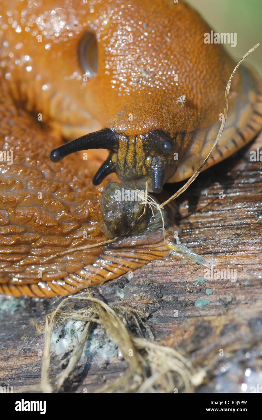 Arion Slug Lumacas Antenne Occhi Molluschi Gasteropoda Gasteropodi Wirbellosen Invertebrati Parco Regionale di Montevecchia Stockbild