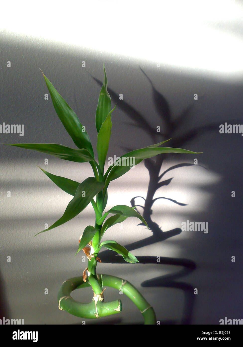 Bambus Blätter Haus Pflanze Schatten exotische Etymologie Japanisch dekorative Wasser Schatten Formen wachsen Stockbild