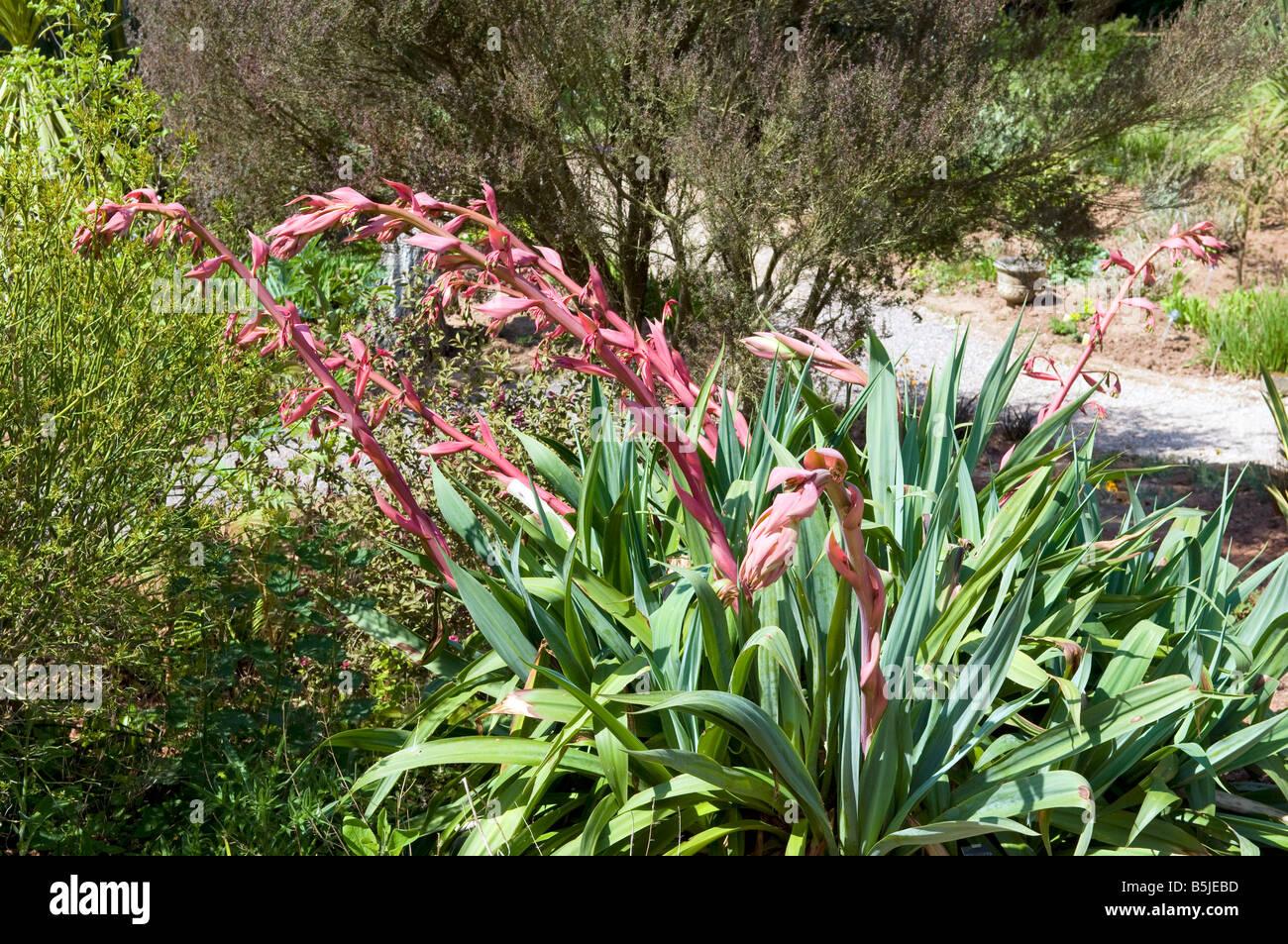 Phormium Tenax Neuseeland Flachs Stockfoto