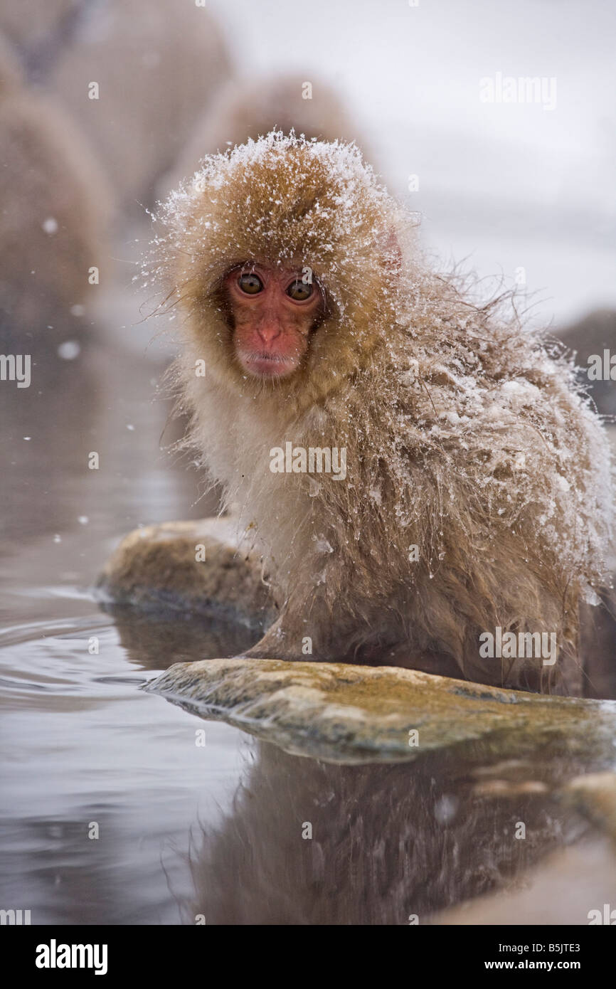 Snow Monkey im Affenpark Jigokudani National Nagano Japan Stockfoto