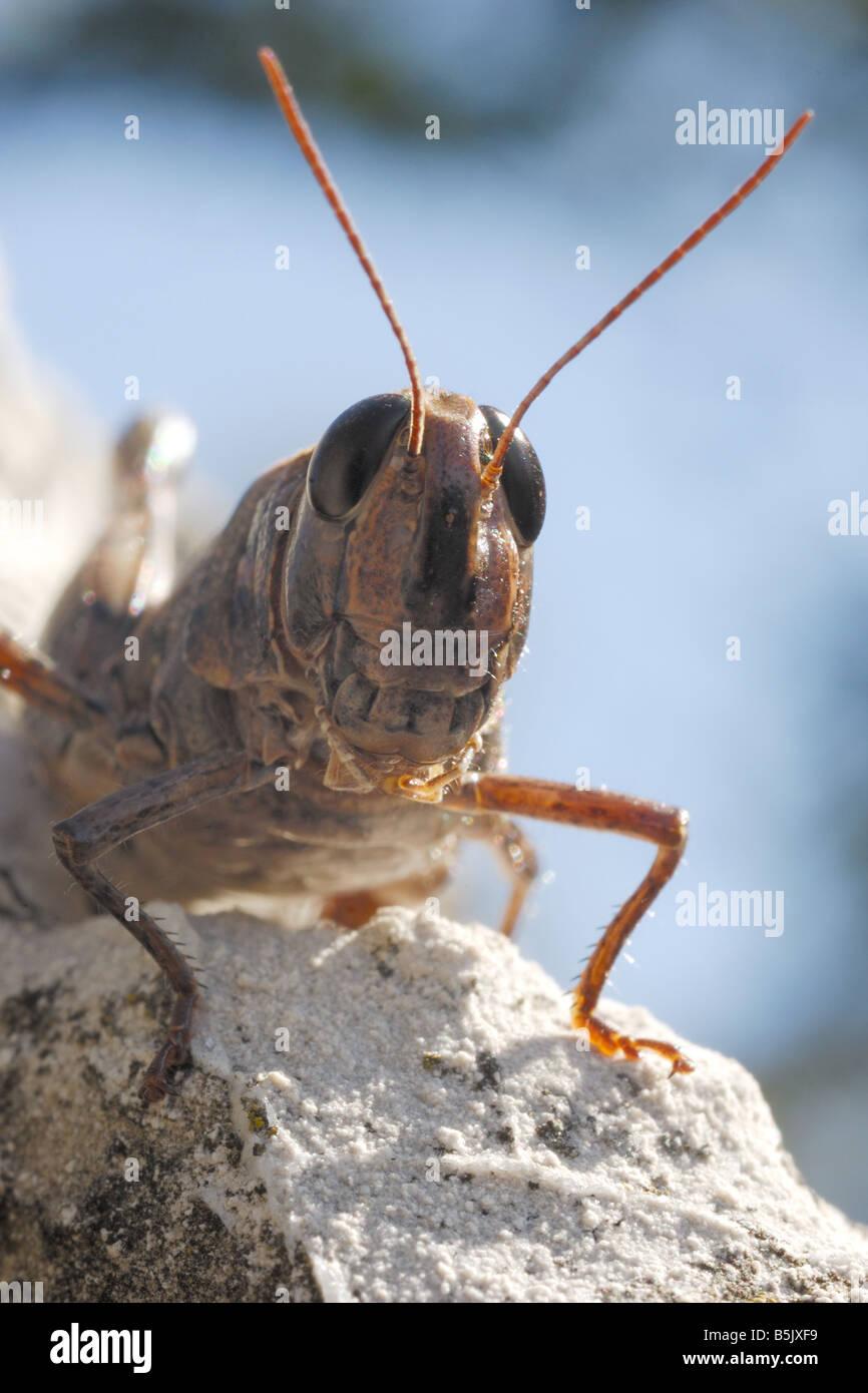 Cavalletta Heuschrecke Kopf Augen Antennen vorne Insekt Ortotteri Insetti Capo Testa Antenne Occhi Artropodi Monte Stockbild
