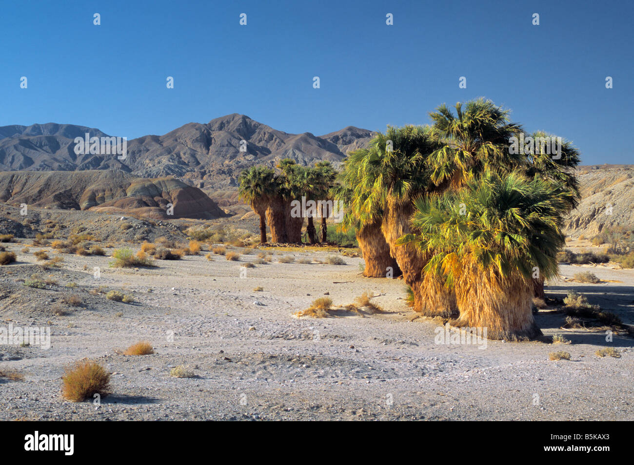 Wüste Fan Palmen an 17 Palms Oasis auf schneiden über Trail Feldweg in Kalifornien Anza Borrego Desert Stockbild