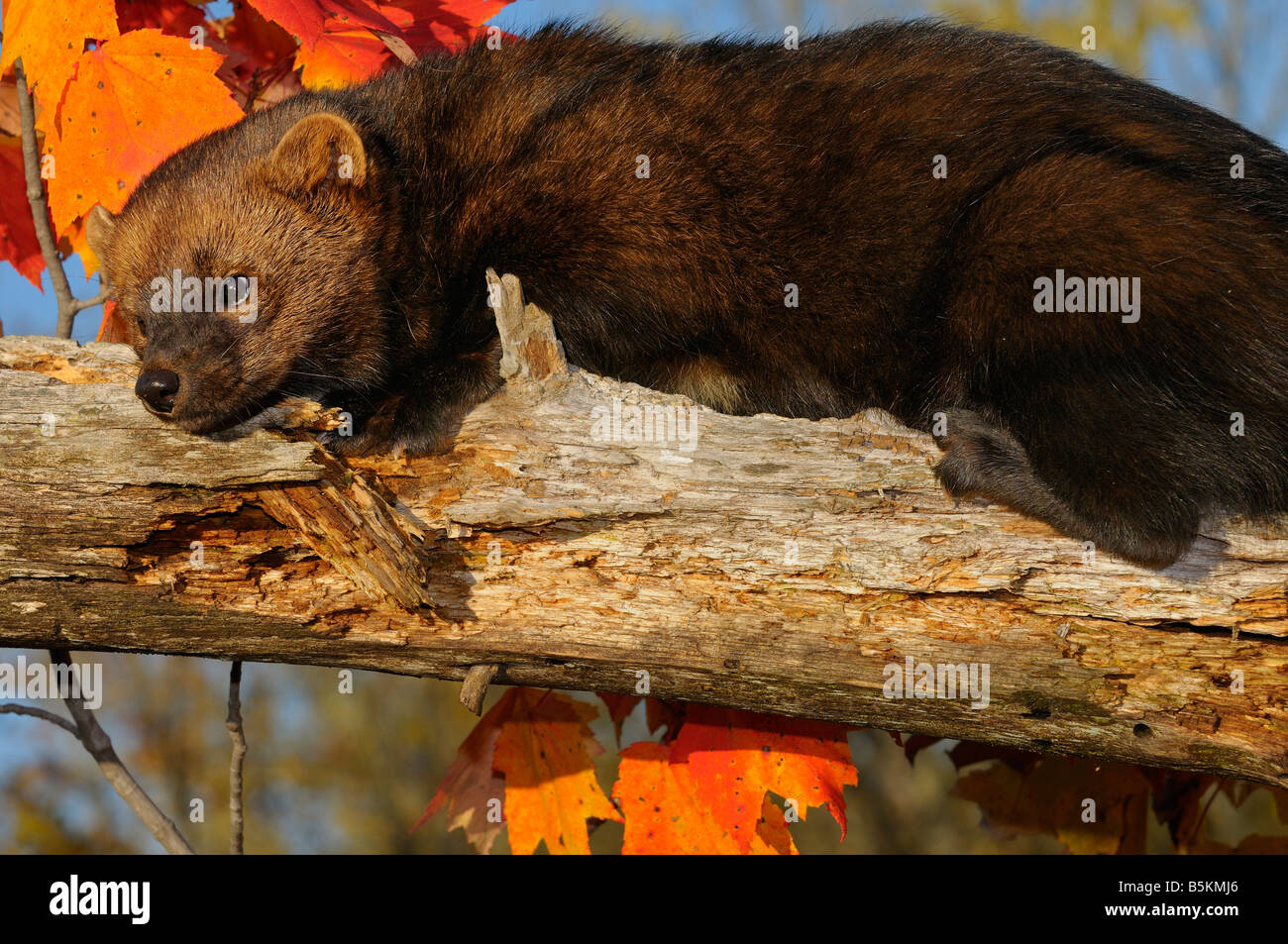 Close up Portrait of North American Marten oder Fisher Faulenzen auf einem Toten Ast mit rot-Ahorn-Blätter Stockbild