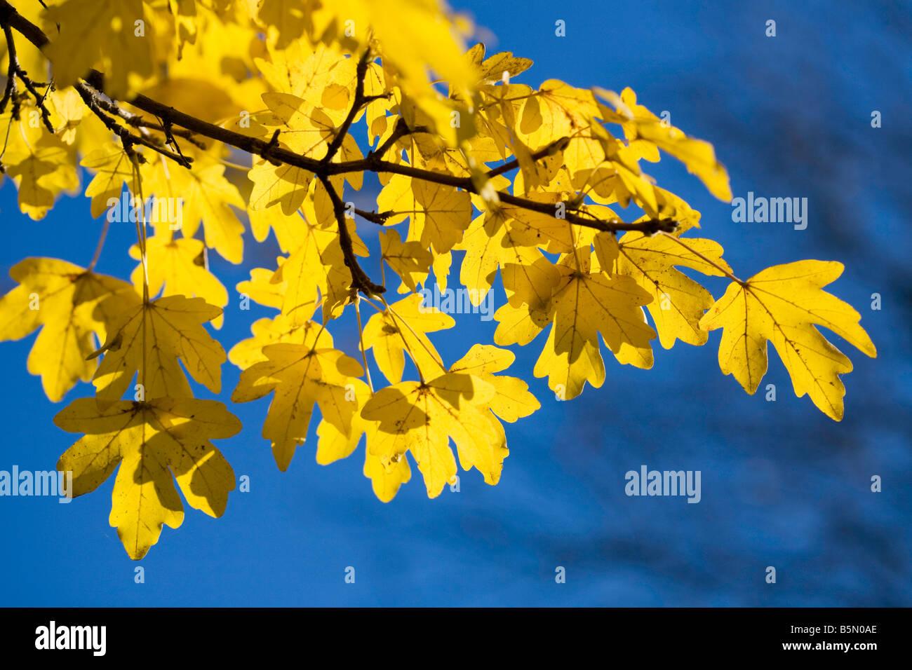 Feld-Ahorn im Herbst gegen strahlend blauem Himmel Stockbild