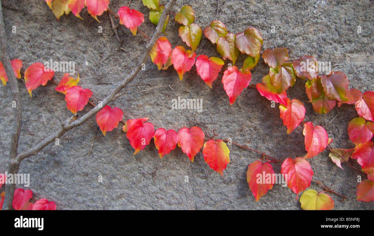 Herbst Blätter an der Wand. Stockbild