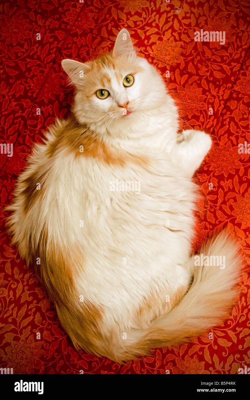 Weiße Katze auf rotem Gewebe Stockbild