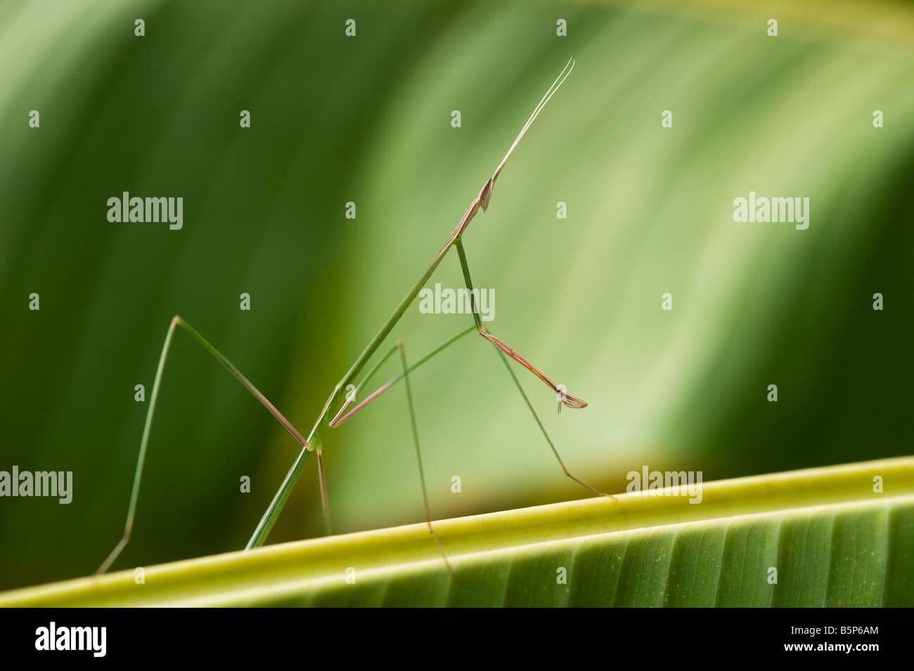 Schizocephala Bicornis. Indische Grass Mantis auf Bananenblatt in Indien Stockbild