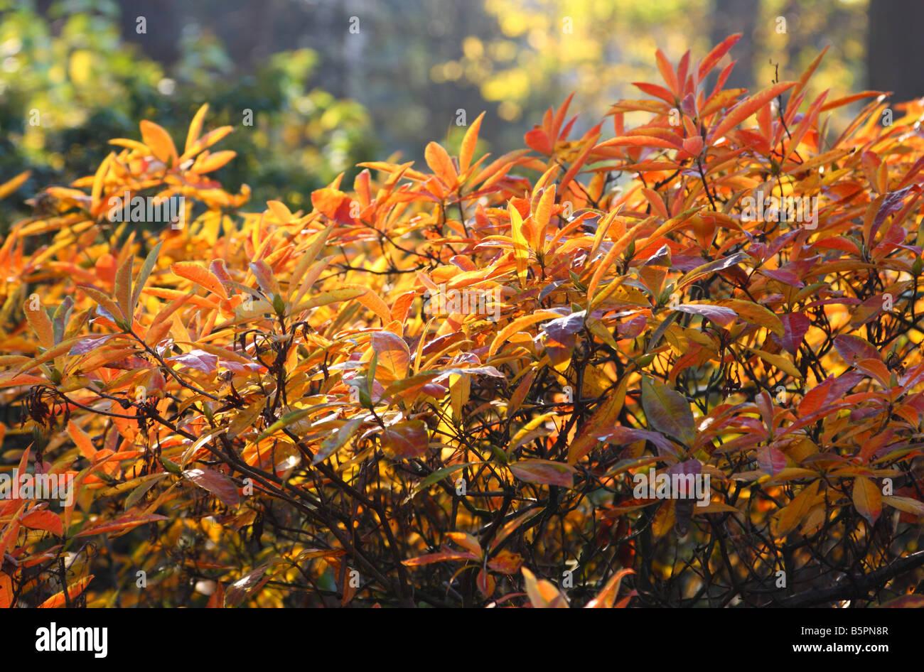 Rhododendron Gelbe Blätter rhododendron blätter gelb und rot im herbst stockfoto bild